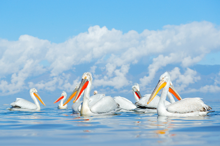 Dalmatian pelican, Pelecanus crispus, in Lake Kerkini, Greece. Palican with open wing, hunting animal. Wildlife scene from Europe nature. Bird on blue sky. Palican with long orange bill. Bird in fly. Banque d'images