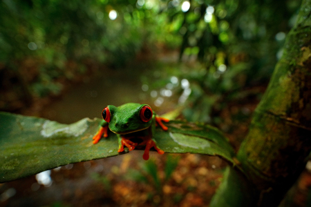 Red-eyed Tree Frog, nature habitat, animal with big red eyes, in forest river. Frog from Costa Rica, wide angle lens. Beautiful frog in junge, exotic animal, central America, red flower. Big red eyes.