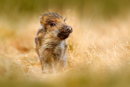 Portrait of wild pig, grass meadow. Young Wild boar, Sus scrofa, running in the grass meadow, red autumn forest in background, animal in the grass habitat, France, wildlife. Cute animal in forest.
