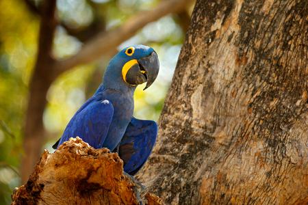 세로 큰 파란 앵무새, Pantanal, 브라질, 남미. 자연 서식지에서 아름다운 희귀 새. 야생 동물 볼리비아, 야생의 자연에서 잉 꼬. 히아신스 잉꼬, Anodorhynchus hyacinthinus, 푸른 앵무새. 스톡 콘텐츠 - 103893076