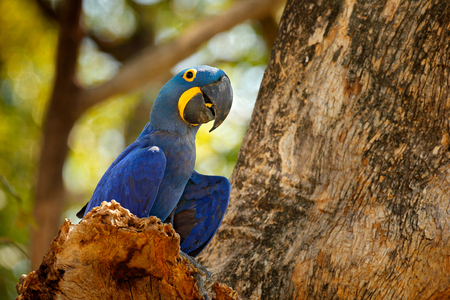 Portrait big blue parrot, Pantanal, Brazil, South America. Beautiful rare bird in the nature habitat. Wildlife Bolivia, macaw in wild nature. Hyacinth Macaw, Anodorhynchus hyacinthinus, blue parrot. 스톡 콘텐츠