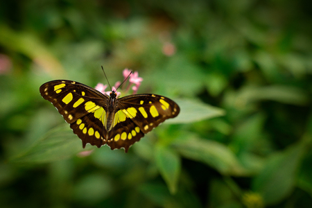 Butterfly in the green forest. Nice insect sitting on the leave. Butterfly from America. Nature in tropic forest. Beautiful butterfly Metamorpha stelenes in nature habitat, from Costa Rica.