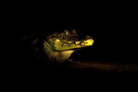 Night in tropic river forest. Portrait of Yacare Caiman in blue water, Cano Negro, Costa Rica. Crocodile in the blue water. Danger animal in the lake water. Wildlife scene from nature.