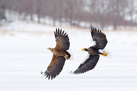 Eagle fight. Eagle fight with fish. Winter scene, birds of prey. Big eagles, snow sea. Flight White-tailed eagle, Hokkaido, Japan, Asia. Action wildlife scene on sky. Eagle in fly.  Three eagles. Stock Photo