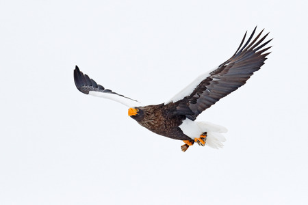 Steller's sea eagle, Haliaeetus pelagicus, flying bird of prey, with blue sky in background, Hokkaido, Japan. Eagle with nature mountain habitat. Winter scene with snow and eagle. Flying rare eagle. Stock Photo