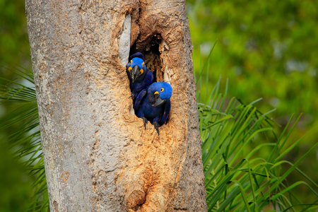 Hyacinth Macaw, two birds nesting, in tree nest cavity, Pantanal, Brazil, South America. Detail portrait of beautiful big blue parrot in nature habitat. Pair macaw in nest hole. Nesting behaviour. Stock Photo