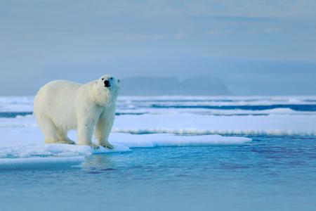 Ours polaire sur le bord de la glace dérive avec de la neige une eau en mer de Russie Animal blanc dans l'habitat naturel, Europe. Scène de la faune de la nature. Ours polaire marchant sur la glace, beau ciel du soir.
