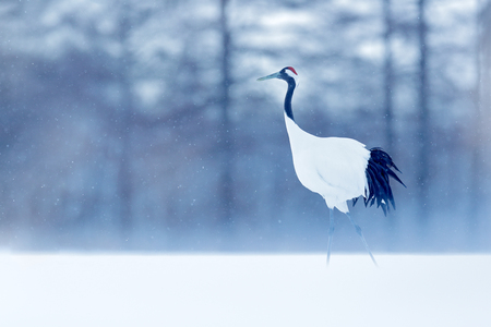 Dancing Red-crowned crane with open wing in flight, with snow storm, Hokkaido, Japan. Bird in fly, winter scene with snowflakes. Snow dance in nature. Wildlife scene from snowy nature. Cold winter.