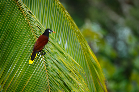 Palm tree with bird. Montezuma Oropendola, Psarocolius montezuma, portrait of exotic bird from Costa Rica, brown with black head and orange bill, clear green background. Wildlife scene tropic nature. Banque d'images - 103893554