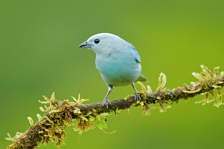 Tropic bird from Costa Rica. Blue-gray tanager on branch in green vegetation. Wildlife scene from green forest habitat, bird sitting on the branch. Bird travel in Costa Rica.
