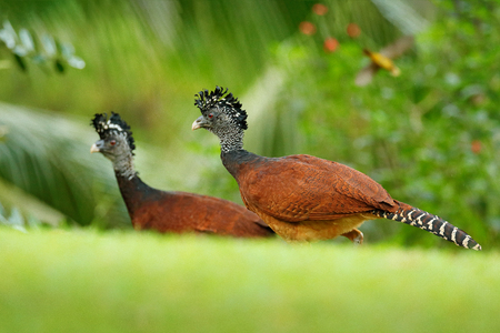 Bare-faced Curassow, Crax fasciolata, big black bird with yellow bill in the nature habitat, Costa Rica. Wildlife scene from tropic forest. Brown bird in green grass, tropic nature. Jungle bird. Banque d'images - 103893562