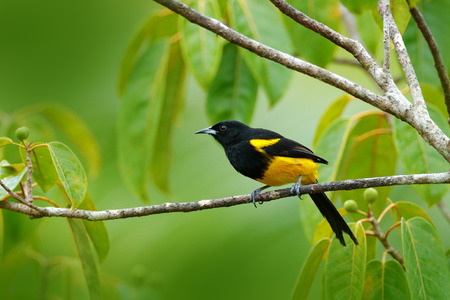 Black-cowled Oriole, Icterus prosthemelas, sitting on the green moss branch. Tropic bird in the nature habitat. Wildlife in Costa Rica. Orange black mountain bird in the dark green forest.