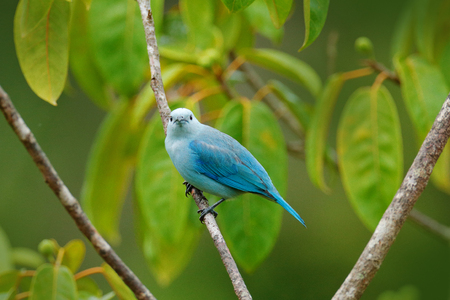 Blue-gray tanager on branch in green vegetation. Wildlife scene from green forest habitat, bird sitting on the branch. Bird travel in Costa Rica. Tropic bird from Costa Rica.