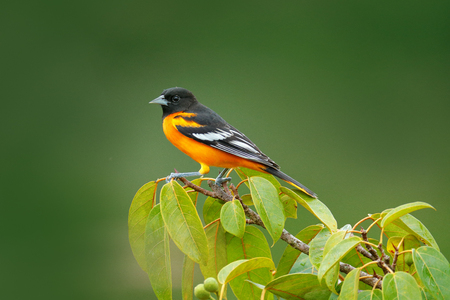 Baltimore Oriole, Icterus galbula, sitting on green moss branch. Tropic bird tanager in the nature habitat. Wildlife in Costa Rica. Orange black mountain bird in dark green forest, clear background.