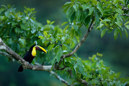 Nature travel in central America. Keel-billed Toucan, Ramphastos sulfuratus, bird with big bill. Green tree, bird. Toucan sitting on the branch in the forest, Boca Tapada, green vegetation, Costa Rica