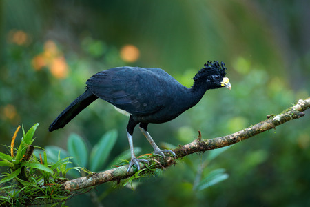 Bare-faced Curassow, Crax fasciolata, big black bird with yellow bill in the nature habitat, Costa Rica. Wildlife scene from tropic forest. Brown bird in green grass, tropic nature. Jungle bird. Фото со стока
