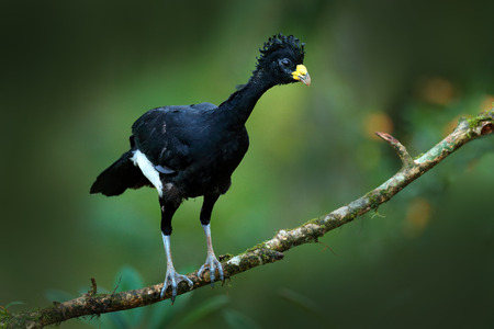 Bare-faced Curassow, Crax fasciolata, big black bird with yellow bill in the nature habitat, Costa Rica. Wildlife scene from tropic forest. Brown bird in green grass, tropic nature. Jungle bird. Banque d'images - 103893569