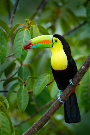 Tropic bird. Toucan sitting on the branch in the forest, green vegetation. Nature travel holiday in central America. Keel-billed Toucan, Ramphastos sulfuratus, beautiful bird. Wildlife Nicaragua.