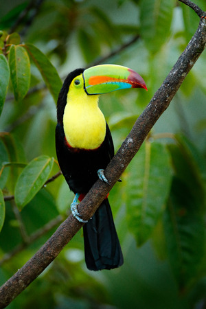Wildlife Mexico. Tropic bird. Toucan sitting on the branch in the forest, green vegetation. Nature travel holiday in central America. Keel-billed Toucan, Ramphastos sulfuratus, beautiful bird. Фото со стока