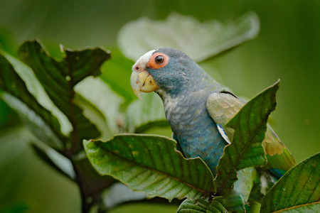Portrait of parrot, green leave. Pair of birds, green and grey parrot, White-crowned Pionus, White-capped Parrot, Pionus senilis, in Costa Rica. Parrots courtship in the nature. Close-up of head. Фото со стока