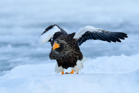 Winter Japan with snow.  Wildlife action behaviour scene from nature. Wildlife Japan. Steller's sea eagle, bird with catch fish, with white snow, Hokkaido, Japan. Eagle landing ice. Morning sun. Banque d'images - 103893600