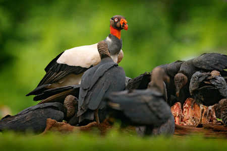 King vulture, Sarcoramphus papa, with carcas and black vultures. Red head bird, forest in the background. Wildlife scene from tropic nature. Condors in tropic forest and cow. Costa Rica. Фото со стока