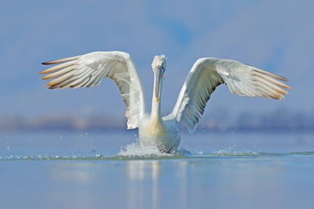 Dalmatian pelican, Pelecanus crispus, in Lake Kerkini, Greece. Palican with open wing, hunting animal. Wildlife scene from Europe nature. Bird on blue sky. Palican with long orange bill. Bird in fly. Banque d'images - 103893605