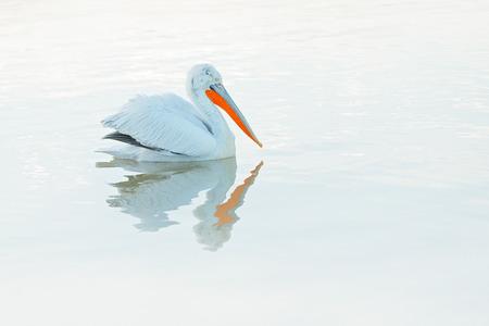Pelican, mirror in still water. Dalmatian pelican, Pelecanus crispus, in Lake Kerkini, Greece. Palican withblue still water surface. Wildlife scene from Europe nature. Bird, blue sky. White pelican. Imagens