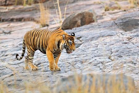 Indian tiger, wild danger animal in nature habitat, Ranthambore, India. Big cat, endangered mammal, nice fur coat. End of dry season, monsoon. Bengal tiger walking stone rock. Wildlife Asia.