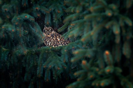 Short-eared Owl, Asio flammeus, sitting on branch the spruce forest. Owl hidden in the forest. Wildlife scene from the nature habitat. Bird on the spruce tree. Animal in the habitat. Фото со стока
