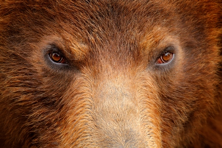 Brown bear, close-up detail eye portrait. Brown fur coat, danger animal. Wildlife nature. Fixed look, animal muzzle with eyes. Big mammal from Russia. Art view on nature. Bear face. Aggressive animal. Фото со стока