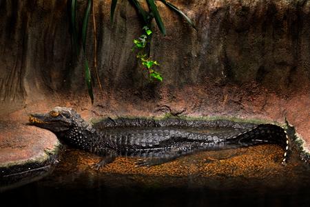 Cuviers dwarf caiman, Paleosuchus palpebrosus, small crocodile from America, alligator family. From Bolivia, Brazil, Colombia, Ecuador. Caiman in habitat, river water. Wildlife scene, tropic nature.