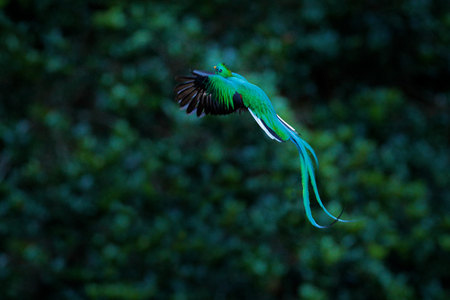 Resplendent Quetzal flying , Pharomachrus mocinno, Savegre in Costa Rica, with green forest background. Magnificent sacred green and red bird. Action fly moment with Resplendent Quetzal. Birdwatching Фото со стока