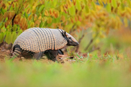 Six-Banded Armadillo, Yellow Armadillo,  Funny portrait of Armadillo, face portrait, hidden in the grass. Wildlife of South America. Euphractus sexcinctus, Pantanal, Brazil. Wildlife scene from nature