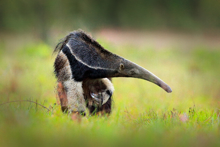 Anteater, cute animal from Brazil. Giant Anteater, Myrmecophaga tridactyla, animal with long tail ane log nose, Pantanal, Brazil. Wildlife scene from wild nature.