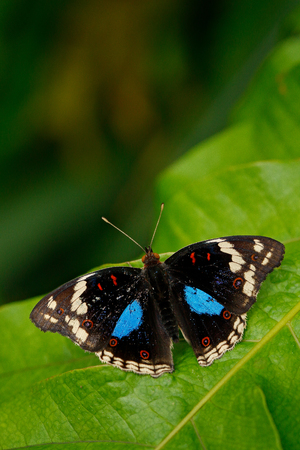 Beautiful butterfly Blue Pansy, Junonia oenone, insect in the nature habitat, green leave, Uganda, Africa. Black and blue butterfly sitting on the green leave in the forest. Фото со стока
