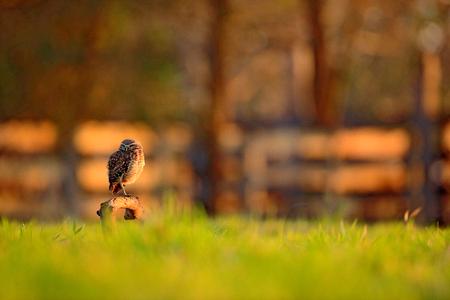 Burrowing Owl, Athene cunicularia, night bird with beautiful evening sun light, animal in the nature habitat, Bolivia, South America. Wildlife scene from nature. Sunset with cute owl bird. Фото со стока