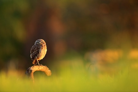 Burrowing Owl, Athene cunicularia, night bird with beautiful evening sun light, animal in the nature habitat, Mato Grosso, Pantanal, Brazil. Wildlife scene from nature. Sunset with cute owl bird. Фото со стока