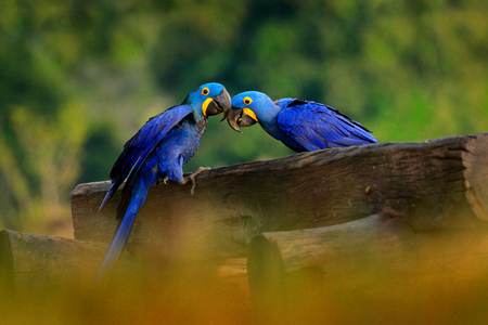 Two Hyacinth Macaw, Anodorhynchus hyacinthinus, blue parrot. Portrait big blue parrot, Pantanal, Brazil, South America. Beautiful rare bird in the nature habitat. Wildlife Brazil, macaw wild nature. Фото со стока