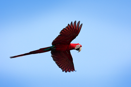 Bird in flight. Action wildlife scene from South America. Red big parrot in fly. Red-and-green Macaw, Ara chloroptera, in the dark green forest habitat. Beautiful macaw parrot from Amazon, Brazil. Фото со стока
