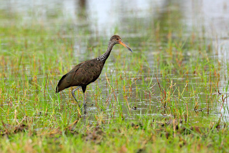 Limpkin courlan, Aramus guarauna, bird in water grass. Evening sun, motteled bird with evening back light, in the nature habitat, Pantanal, Brazil. Wildlife scene from nature. Banque d'images - 103893579
