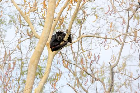 Monkey black howler, Alouatta caraya, nature habitat. Black monkey sitting in forest. Black monkey tree. Animal in Pantanal, Brazil. Animal in the tropic forest. Monkey in tree habitat, dry season. Banque d'images - 103893580