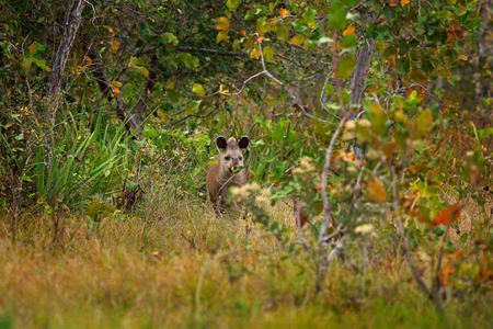Tapir in habitat, hidden green vegetation. Tapir in nature. South American Tapir, Tapirus terrestris, in green vegetation. Close-up portrait of rare animal from Brazil. Wildlife scene, tropic nature.