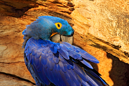 Blue Macaw portrait. Nesting behaviour. Hyacinth Macaw, Anodorhynchus hyacinthinus, in tree nest cavity, Pantanal, Brazil, South America. Detail portrait of beautiful big blue parrot nature habitat. Фото со стока