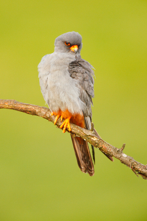 Red-footed Falcon, Falco vespertinus, bird sitting on branch with clear green background, cleaning plumage, feather in the bill, animal in the nature habitat, Romania. Grey male of Red-footed Falcon. Фото со стока