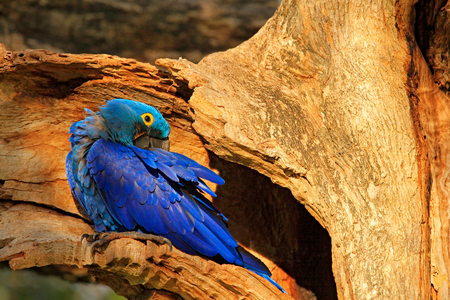 Blue macaw tree nest. Nesting behaviour. Hyacinth Macaw, Anodorhynchus hyacinthinus, in tree nest cavity, Pantanal, Brazil, South America. Detail portrait of beautiful big blue parrot nature habitat. Banque d'images - 103893586