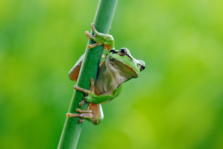 European tree frog, Hyla arborea, sitting on grass straw with clear green background. Nice green amphibian in nature habitat. Wild frog on meadow near the river, habitat. Banque d'images - 103893588
