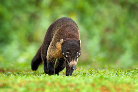 Raccoon, Procyon lotor, in green grass, tropic junge, Costa Rica. Animal in forest habitat, green vegetation. Animal from tropic Costa Rica. Raccoon with long tail. Mammal in nature habitat, wildlife.