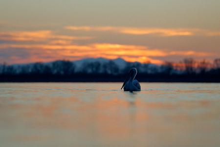 Pelican, morning sunrise. Dalmatian pelican, Pelecanus crispus, in Lake Kerkini, Greece. Palican with open wing, hunting animal. Wildlife scene, Europe nature. Bird on orange blue sky. Bird start.