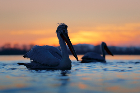 Dalmatian pelican, Pelecanus crispus, in Lake Kerkini, Greece. Palican with open wing, hunting animal. Wildlife scene from Europe nature. Bird on blue sky. Palican with long orange bill. Bird in fly. Фото со стока